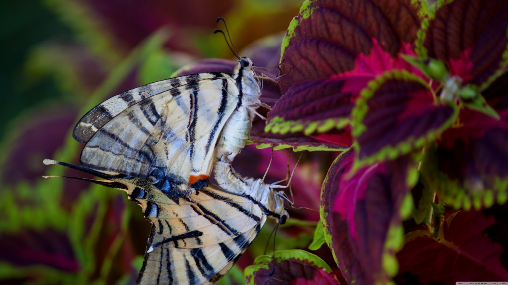 HD wallpapers for Windows 8-butterflies_in_love