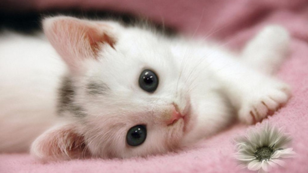 HD wallpapers for Windows 8-cute-white-cat
